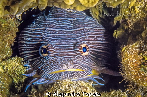 Splendid Toad fish, Cozumel Mexico by Alejandro Topete 